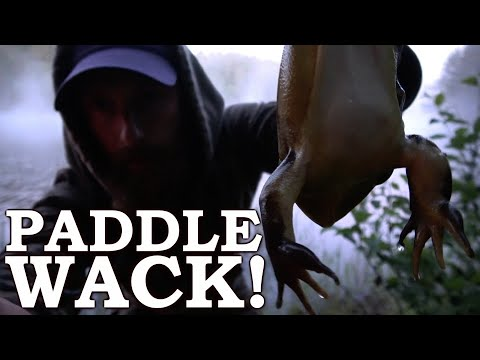 PADDLE SWATTING BULLFROGS (Hilarious!!!)   Catch and Cook on a ROCK!  Canadian Wild Tour Ep1